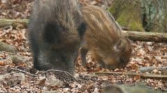 Wild Boar - stock footage