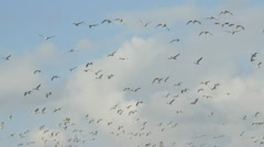 Snow Geese Flying Stock Footage