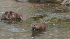 River otter Stock Footage