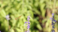 Dragonfly on purple flower video. Stock Footage