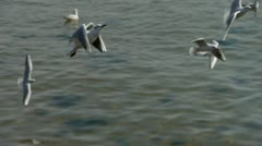 Many seagull flying in sea. Stock Footage