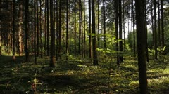 Pan summer forest, the sun Stock Footage