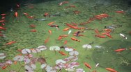 Fishes and water lilies Stock Footage