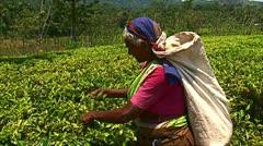 Tea leaf gathering on a plantation. Stock Footage