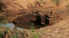 Buffalo Bull sitting in Water GFHD Stock Footage