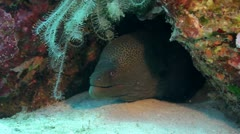 Giant moray eel under coral reef Stock Footage