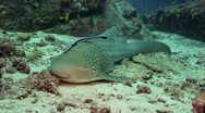 Leopard shark on sand Stock Footage