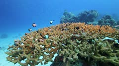 Hard coral with small fish Stock Footage