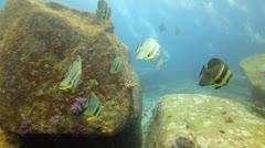 Marine life school of bat fish Stock Footage