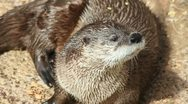 Otter Face Stock Footage
