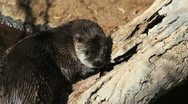 Otter Tree Branch Stock Footage