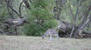 Stock Video Footage of AUSTRALIA-KANGAROOS 1