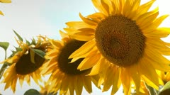 Sunflower head Stock Footage