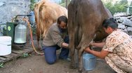Woman and man milking a cow with hands in the mountain village Stock Footage