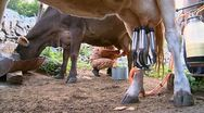 Woman milking a cow with hands and machines Stock Footage