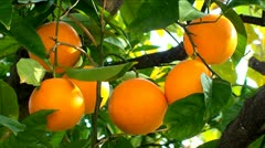 Orange fruit hanging on the tree - stock footage