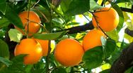 Stock Video Footage of Orange fruit hanging on the tree