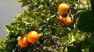 Orange fruit hanging on a tree branch Stock Footage