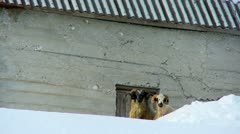 Aries and sheep standing in the snow next to the barn - stock footage