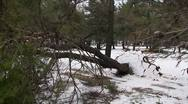 Felled pine trees after a strong winter storm Stock Footage