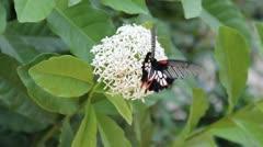 Grayish black butterflies eating nectar white flower Stock Footage