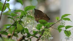 Brown butterflies eating nectar from the pollen Stock Footage