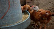 Little chickens eating Stock Footage