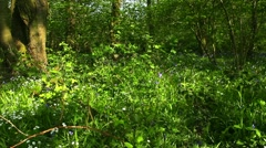 Sunlight shining onto bluebell flowers in an ancient broadleaf woodland England Stock Footage