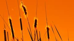 Silhouetted Stalks Orange Stock Footage