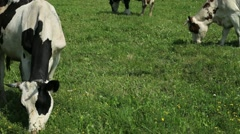 Cows graze on a green field - stock footage