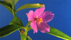 Flower - Slow Timelapse 7 -  Pink flower blooming on blue background Stock Footage