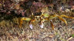 Crabs at the beach 11 - stock footage