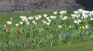 Stock Video Footage of Beautiful white tulips