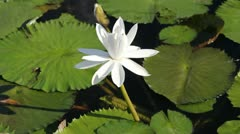 White Lotus in Bangkok, Thailand Stock Footage