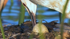 Great Crested Grebe on nest Stock Footage