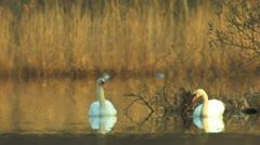 Mute Swan in beautiful scenery Stock Footage