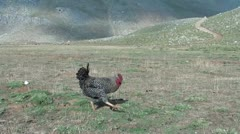 A fowl on highland plateau Stock Footage
