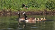 Stock Video Footage of Canada Goose bird with chicks