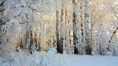 Winter frozen birch woods in morning light Stock Footage