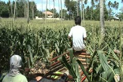 Corn harvester gathering cobs Stock Footage