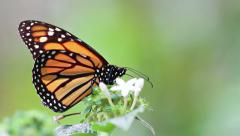 Monarch Butterfly (Danaus plexippus).mp4 Stock Footage