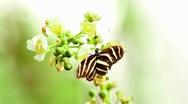 Zebra longwing butterfly Stock Footage