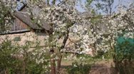 Stock Video Footage of Apple tree flowers
