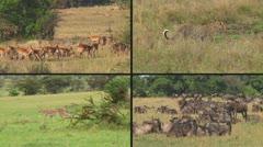 Predator and prey Stock Footage