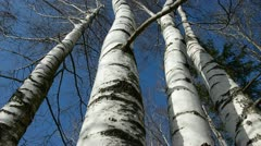 Birches in the March and camera rotate Stock Footage