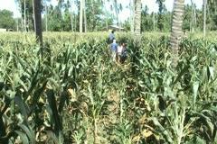 Corn harvester gathering cobs - stock footage