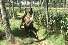 Man driving buffalo bamboo wagon in corn field Stock Footage