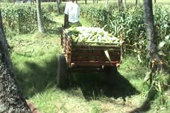 Carabao Wagon Stock Footage