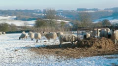 Harsh winter and hardy livestock Stock Footage