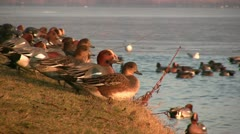 Large group of ducks fly off and jump into the water of a lake Stock Footage